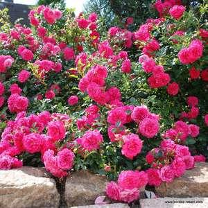 Kúszó Rózsák (Talajtakaró rózsák) Díjnyertesek