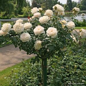 Rózsafák, Díjnyertesek