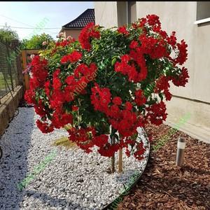 Csüngő- és Esernyő formájú Rózsafák, Díjnyertesek