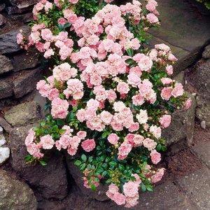 Kúszó rózsák (talajtakaró rózsák) ( Klasszikus,régi fajták)