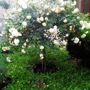 Csüngő Rózsafák (Klasszikus,régi fajták)