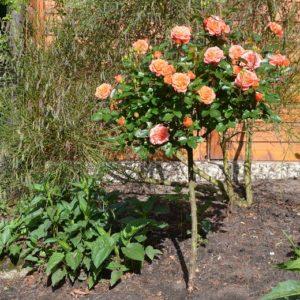 Félmagas kis rózsafák Díjnyertesek