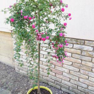 Egyedi különlegesség: Rózsafák Díjnyertesek (30 literes dézsában) 90cm- es szármagasság