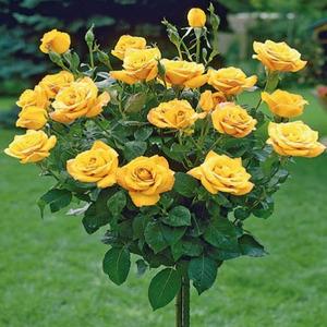 Rózsafák (Klasszikus,régi fajták)